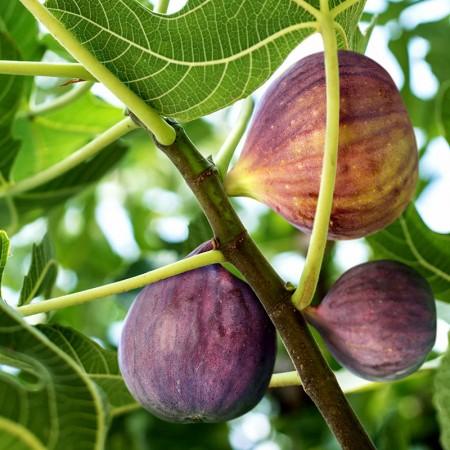 Smochin Rosce Signora - Arbusti fructiferi - AgroDenmar.ro