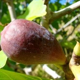 Smochin Lungo del Portogallo - Arbusti fructiferi - AgroDenmar.ro