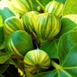 Smochin Panache - Arbusti fructiferi - AgroDenmar.ro