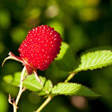 Zmeur-Capsun Japonez - Arbusti fructiferi - AgroDenmar.ro