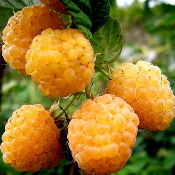 Zmeur Galben Cytria - Arbusti fructiferi - AgroDenmar.ro