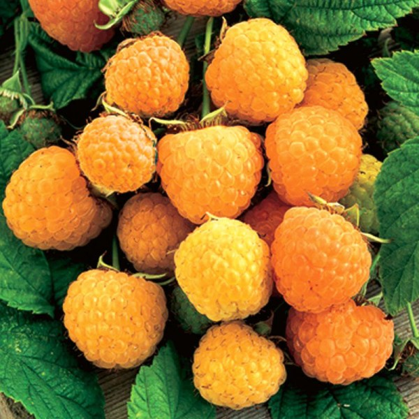 Zmeur Golden Queen - in Ghiveci - Arbusti fructiferi - AgroDenmar.ro