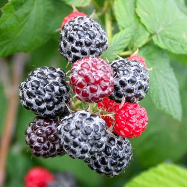 Zmeur negru Black Jewel - Arbusti fructiferi - AgroDenmar.ro