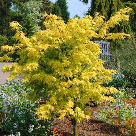 Artar japonez Orange Dream - Arbusti ornamentali - AgroDenmar.ro