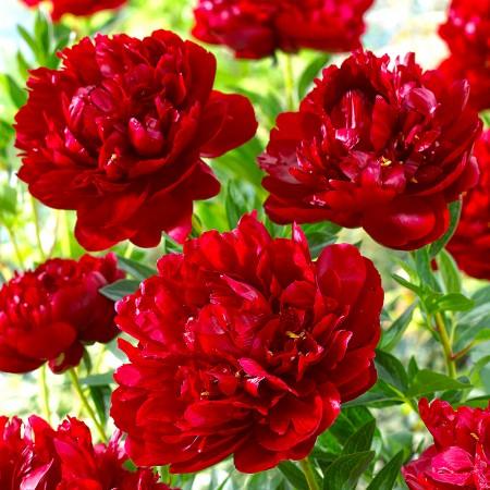 Bujor rosu - Rubra Plena - Arbusti ornamentali - AgroDenmar.ro