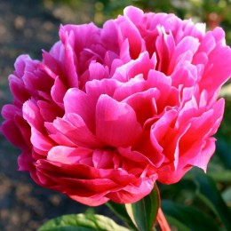 Bujor roz - Koningin Wilhelmina