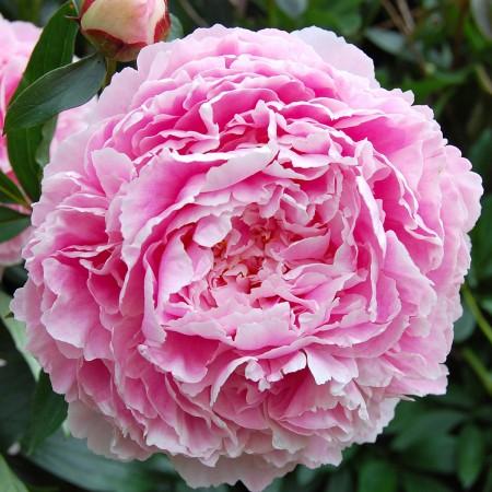 Bujor roz - Sarah Bernhardt - Arbusti ornamentali - AgroDenmar.ro