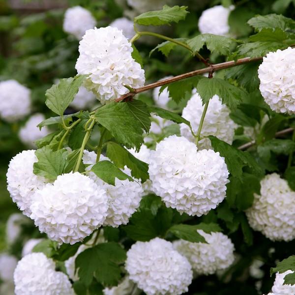 Bulgare de zapada - Arbusti ornamentali - AgroDenmar.ro