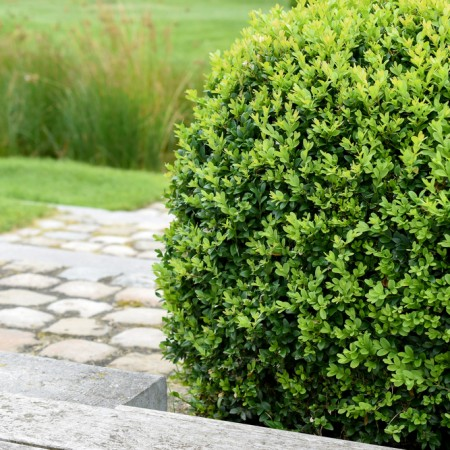 Buxus sempervirens - Arbusti ornamentali - AgroDenmar.ro