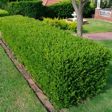Buxus sempervirens - Arbusti ornamentali - AgroDenmar.ro