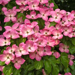 Cornus kousa 'Miss Satomi' - Arbusti ornamentali - AgroDenmar.ro