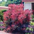 Cotinus Foliis purpureis