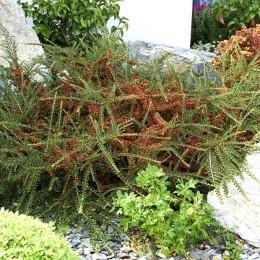 Cotoneaster Horizontalis - Arbusti ornamentali - AgroDenmar.ro