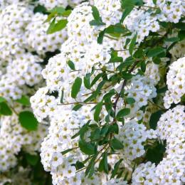Cununita-Floarea miresii (Spiraea vanhouttei) - Arbusti ornamentali - AgroDenmar.ro