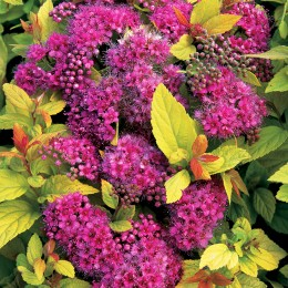 Cununita Spirea japonica Golden Princess - Arbusti ornamentali - AgroDenmar.ro