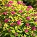 Arbusti ornamentali - Cununita Spirea japonica Golden Princess