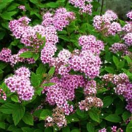 Cununita Spirea japonica Little Princess - Arbusti ornamentali - AgroDenmar.ro