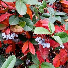 Dracila Berberis Julianae - Arbusti ornamentali - AgroDenmar.ro