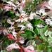 Dracila Berberis thunbergii Flamingo - Arbusti ornamentali - AgroDenmar.ro