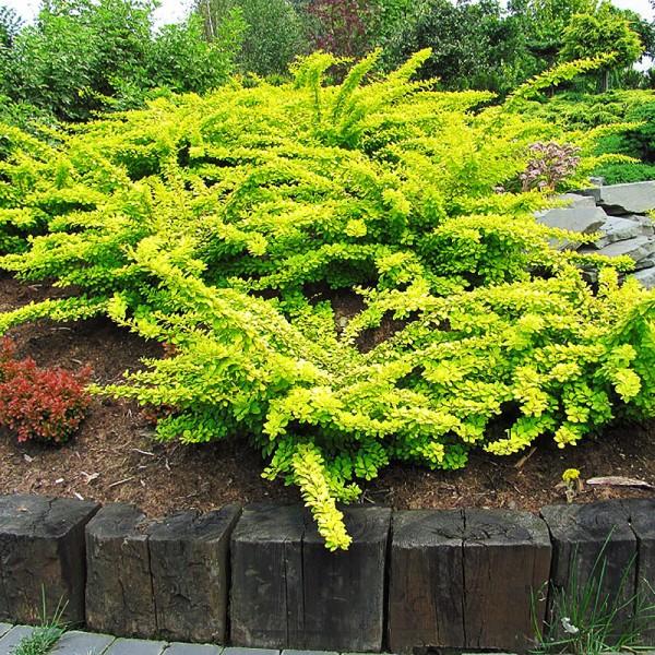 Arbusti ornamentali - Dracila Berberis thunbergii Green Carpet