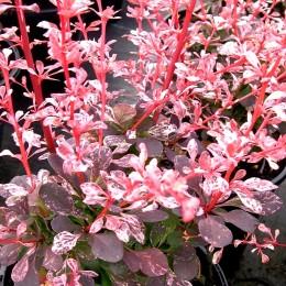 Dracila Berberis thunbergii Harlequin - Arbusti ornamentali - AgroDenmar.ro