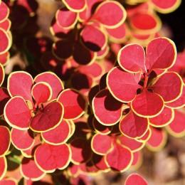 "Dracila Berberis thunbergii ""Orange Sunrise"" - Arbusti ornamentali - AgroDenmar.ro"