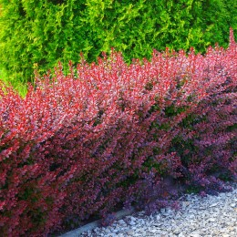 Dracila Berberis thunbergii Red Rocket