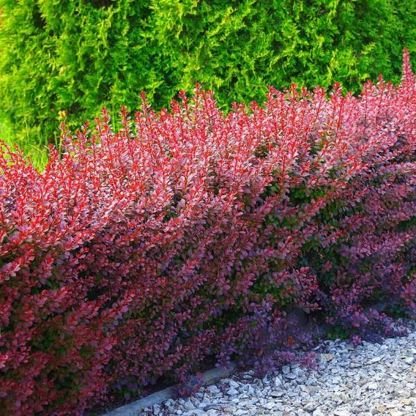 Arbusti ornamentali - Dracila Berberis thunbergii Red Rocket