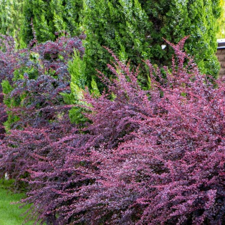 Dracila Berberis thunbergii Rose Glow - Arbusti ornamentali - AgroDenmar.ro