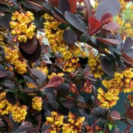 Dracila Berberis vulgaris Atropurpurea - Arbusti ornamentali - AgroDenmar.ro