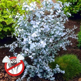Eucalipt - Eucalyptus gunnii Silver Tropfen