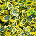Euonymus fortunei Golden Harlequin