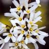 Forsythia alba
