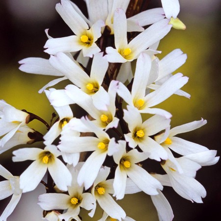 Forsythia alba - Arbusti ornamentali - AgroDenmar.ro
