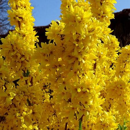 Forsythia intermedia - Arbusti ornamentali - AgroDenmar.ro