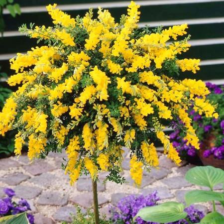 Genista (cytisus) pe trunchi - Arbusti ornamentali - AgroDenmar.ro