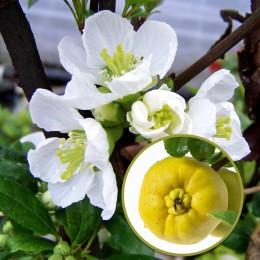 Gutui Japonez Alb Jet Trail - Arbusti ornamentali - AgroDenmar.ro