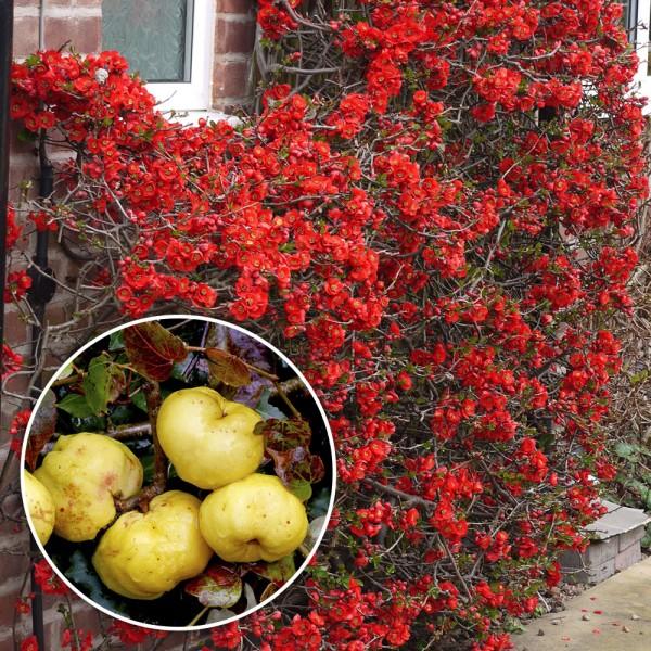 Gutui Japonez Crimson and Gold - Arbusti ornamentali - AgroDenmar.ro