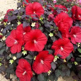 Hibiscus Moscheutos Cranberry Crush - Arbusti ornamentali - AgroDenmar.ro