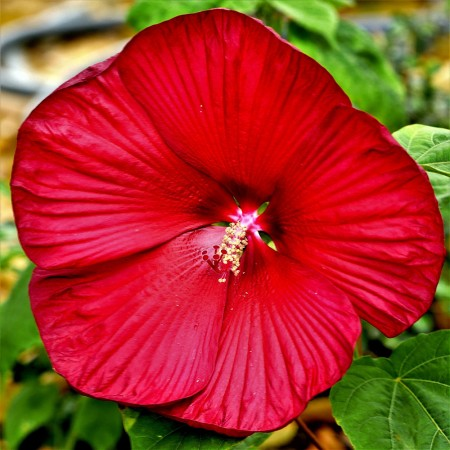Hibiscus Moscheutos Fireball - Arbusti ornamentali - AgroDenmar.ro
