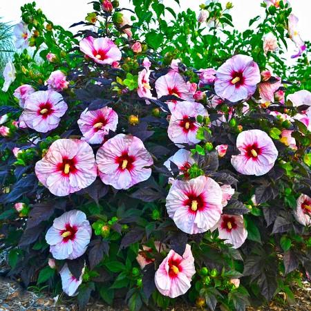 Hibiscus Moscheutos Summer Storm - Arbusti ornamentali - AgroDenmar.ro