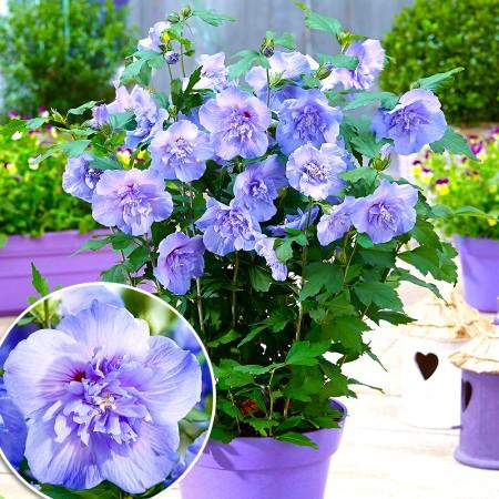 Hibiscus syriacus Blue Chiffon - Arbusti ornamentali - AgroDenmar.ro