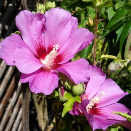 Hibiscus syriacus Russian Violet - Arbusti ornamentali - AgroDenmar.ro