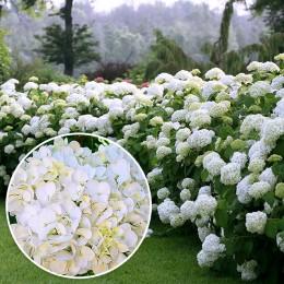 Hortensia alba - Arbusti ornamentali - AgroDenmar.ro