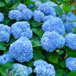 Hortensia albastra Blauer Zerg