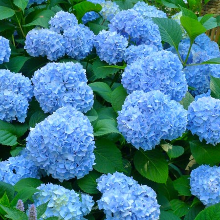 Hortensia albastra Blauer Zerg - Arbusti ornamentali - AgroDenmar.ro