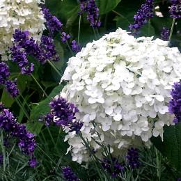 Hortensia Annabelle - Arbusti ornamentali - AgroDenmar.ro