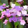 Hortensia aspera Hot Chocolate®