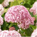 Hortensia Candybelle® Bubblegum