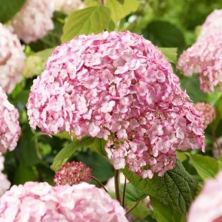 Hortensia Candybelle® Bubblegum - Arbusti ornamentali - AgroDenmar.ro